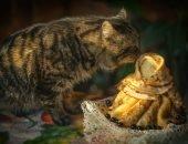 Кошка нюхает блины
