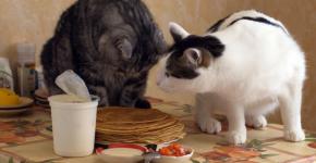 Кошки нюхают блины