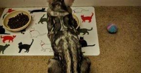 Кот возле миски