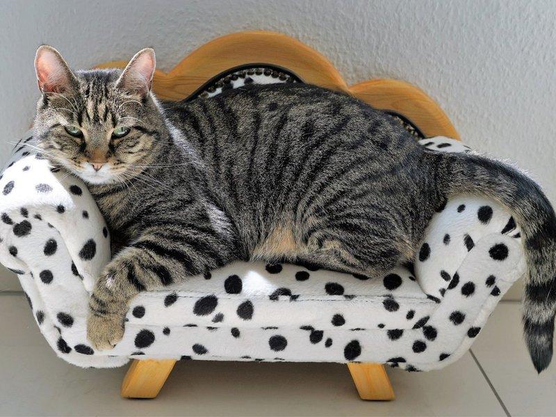 Британские кошки табби браун