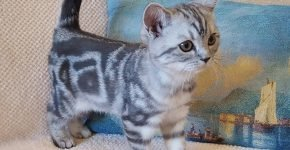 Мраморный котёнок