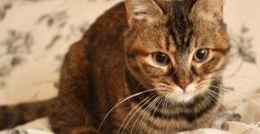 Кошка с карими глазами
