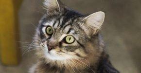 Кошка со светлыми глазами