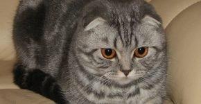 Кошка с оранжевыми глазами