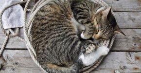 Тигровый кот спит