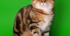 Золотой кот