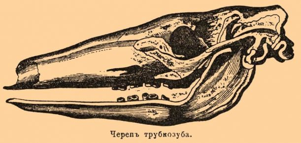 Череп трубкозуба