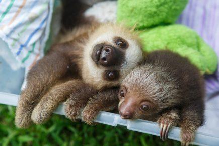Два молодых ленивца