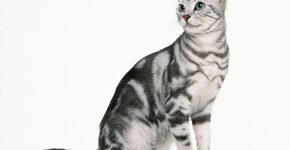 Серебристый кот