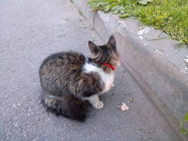 Красный ошейник на коте