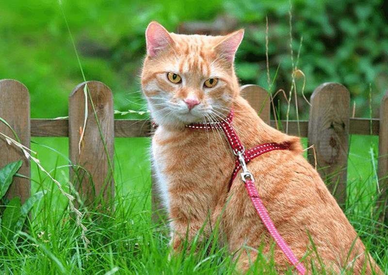 Гуляющая кошка картинки