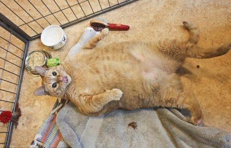 рыжий кот лежит на спине животом вверх в клетке возле миски консервов и облизывается
