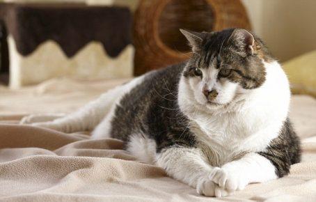 серый с белым короткошёрстный кот лежит на бежевом флисе, вытянув передние лапы вперёд
