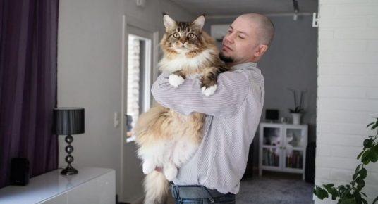 хозяин держит на руках большого пушистого кота с тёмными кисточками на ушах и белами «носочками» на передних лапах
