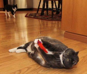 толстомордый коричневый кот с белыми «галстучком» и лапами, лёжа на паркетном полу, играет красным пёрышком