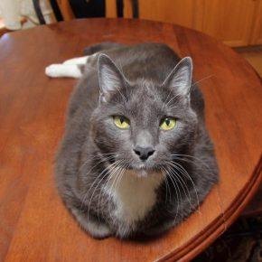 сторойный тёмный кот с пышными белыми усами лежит на полированном столе, подвернув передние лапы и гордо смотрит в объектив