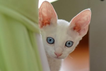 Уши кошки, поднятые вертикально