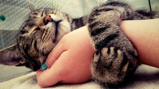 Кошка обнимает руку хозяина лапами