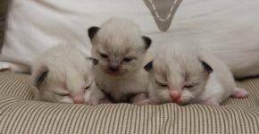 Котята породы регдолл лежат