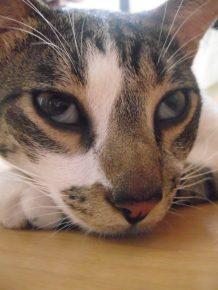 Мигательная перепонка на глазах кошки