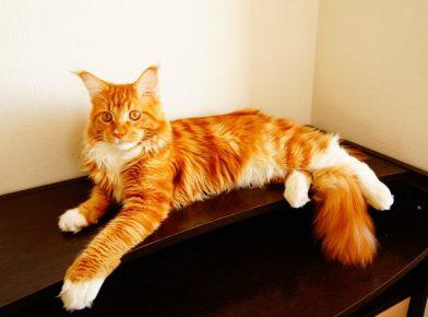 Кот породы мейн-кун рыжего окраса лежит на столе