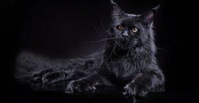 Мейн-кун черного окраса лежит
