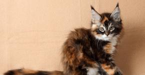 Котёнок мейн-куна черепахового окраса сидит