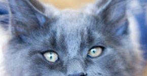 Мейн-кун голубого окраса