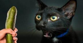 кот боится огурцов