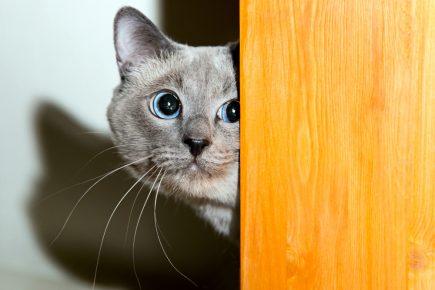 Выглядывающий из-за двери кот