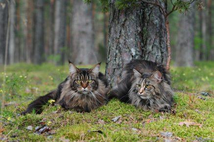 Две кошки мейн-кунов на природе