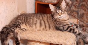 Мейн-кун тигрового окраса отдыхает на лежаке