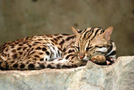 Азиатская леопардовая кошка спит на камне