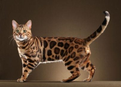 Бенгальский кот на коричневом фоне