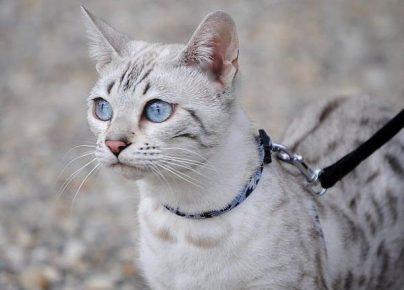 Бенгальская кошка с голубыми глазами