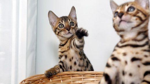 Бенгальские котята играют