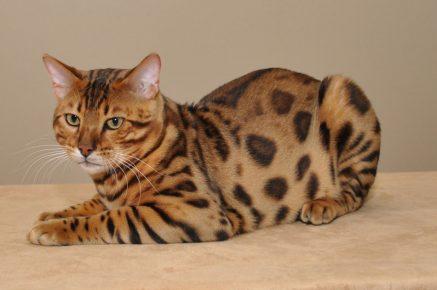 Бенгальский кот лежит