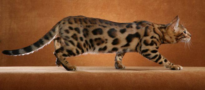 Бенгальская кошка крадётся