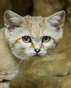 Барханный кот на природе