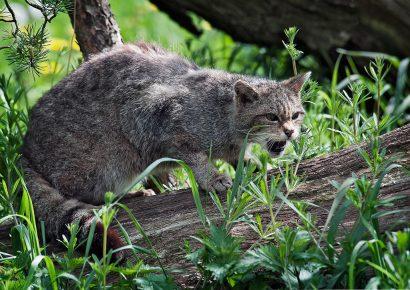 Дикий лесной кот на охоте