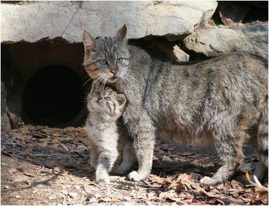 Дикий лесной кот в горах