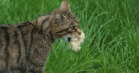 Дикий лесной кот с птенцом в зубах
