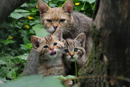 Дикая лесная кошка с котятами на природе