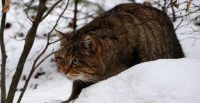 Европейский лесной кот на природе зимой