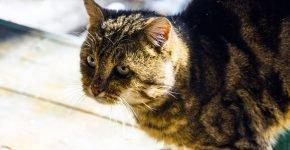Кавказский дикий кот на природе