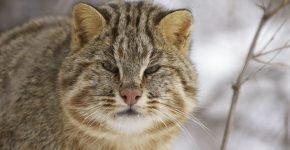 Далневосточный леопардовый кот на природе