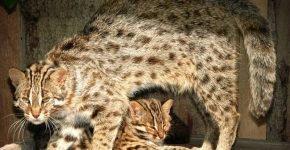 Амурский лесной кот с детёнышем