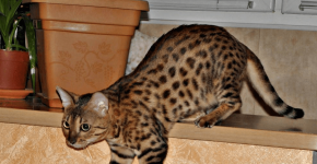 Окрас Brown Tabby Spotted