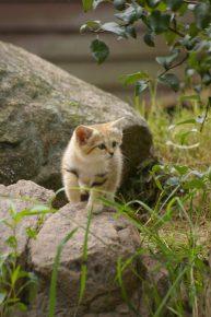 Барханный кот охотится на природе