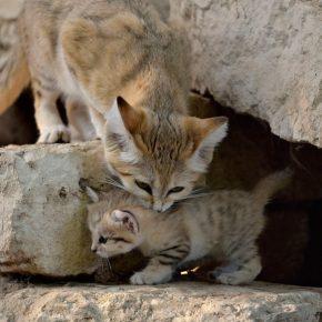 Барханный кот с котёнком